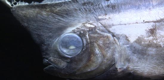 魚の胃からプラスチックごみ